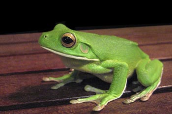 white_lipped_tree_frog_3