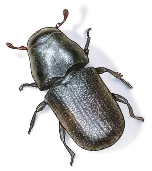 pine_beetle_web1